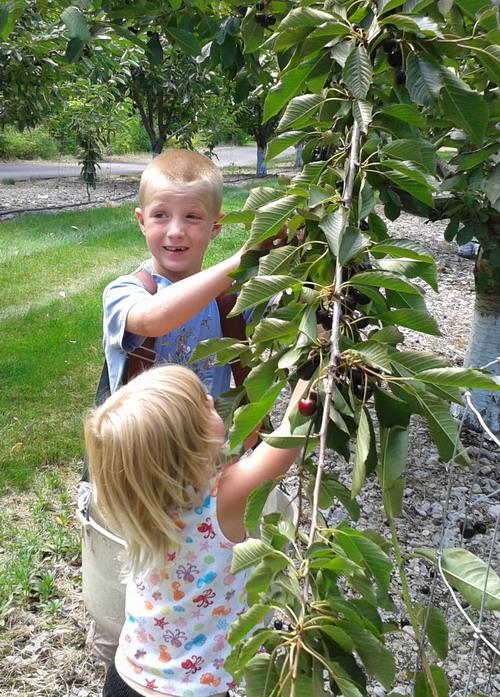 Cherry picking Montana