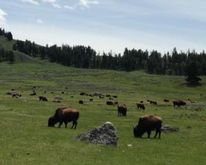 wildlife viewing Yellowstone
