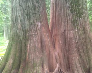 Giant cedar tree