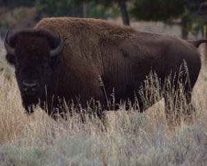 Buffalo Range Montana